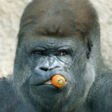 Kibabu sits by himself as he keeps an eye on the public at Taronga Zoo in January 2005.