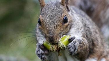 A squirrel chews acorns in Portland, Maine.