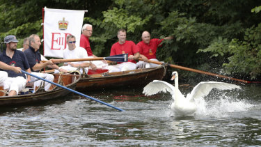A swan avoids being caught by the Queen's Swan Uppers near Penton Hook Island during the ancient tradition of the annual census of the swan population on the River Thames.