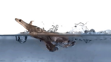 Geckos simultaneously use four techniques to run across the water.