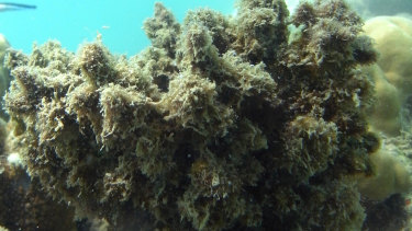 Toxic relationship- when coral bleaching does occur, more invasive algal species can move in, preventing recovery.