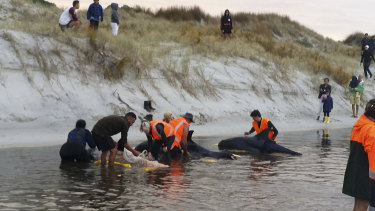 Six pigmy whales were refloated after being transferred from Ninety Mile Beach to Rarawa Beach.
