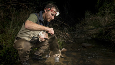 Leading Cesar ecologist and platypus researcher Joshua Griffiths returns a male platypus to a creek where it had been captured just 30 minutes earlier as part of a study.