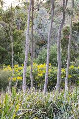 Mahonia aquifolium in flower behind eucalyptus trees.