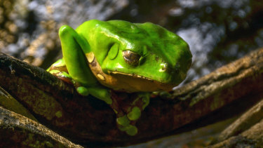 "The giant green monkey tree frog, which produces ""kambo""."