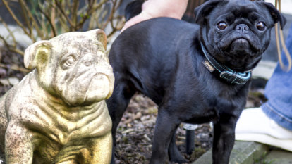 Officials lashed for seizing family's pug, selling it on eBay