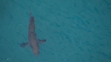 A large shark was filmed swimming nearby following the attack. A male surfer has died after being bitten by a shark near Kingscliff in northern NSW.