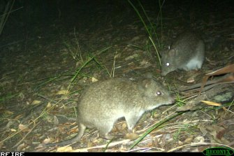 A pair of long-nosed potoroos feeding at night as photographed by one of the research group's camera.