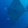The incredible finding on manta rays made possible by everyday divers