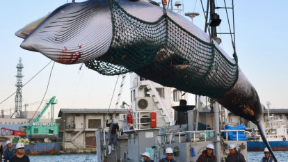 Iceland to keep hunting whales for five years despite tourism concerns