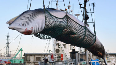 A minke whale is unloaded at a port after a whaling for 'scientific purposes  in Kushiro, in the northernmost main island of Hokkaido. Japan.