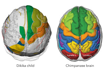 "Brain imprints in fossil skulls of the species Australopithecus afarensis (famous for ""Lucy"" and the ""Dikika child"" from Ethiopia pictured here) shed new light on the evolution of brain growth and organisation."