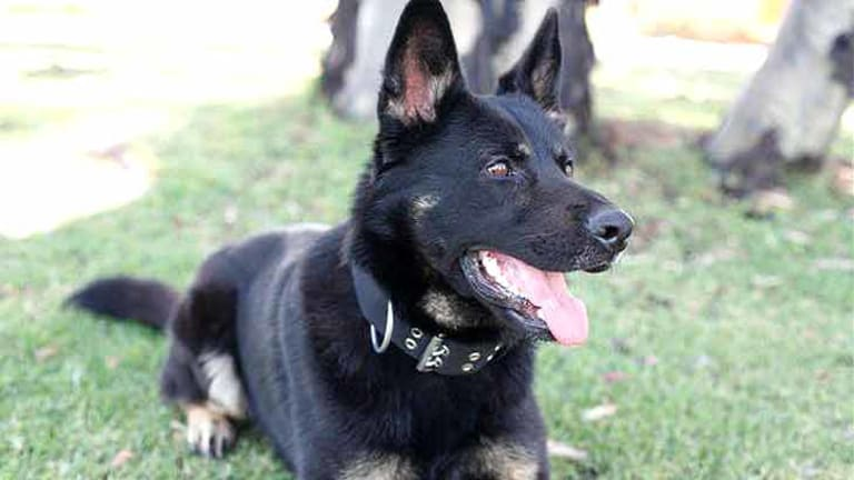 One police dog has died and eight have fallen ill.
