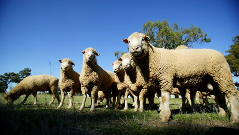 Police have charged a man with allegedly fleecing $80,000 worth of sheep.