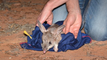 One of 30 bilbies is released into the Mallee Cliffs National Park.