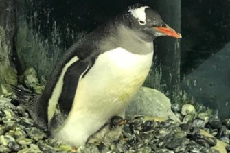 One of the proud dads with his new chick on their pebble nest.
