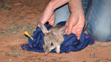 Bilbies released into massive NSW 'natural time capsule'