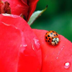 Ladybugs are disappearing, scientists fear