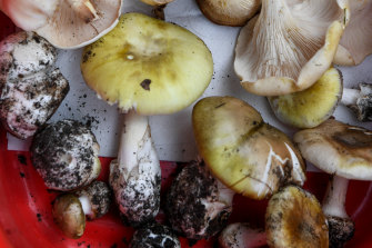 Samples of poisonous mushrooms including the Death Cap and other varieties more similar to edible funghi.