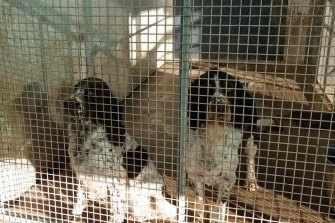 Animals rescued during recent raids of puppy farms.