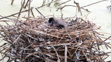 Straw-necked ibis in a nest on Narran Lakes in the northern Murray-Darling Basin.