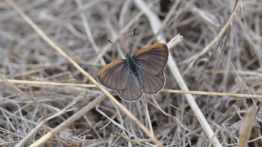 The golden-rayed blue butterfly