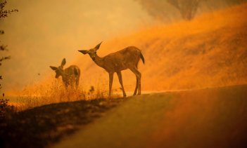 Deer are caught in the smoke and flames as the Carr fire burns near Redding, California on Saturday.