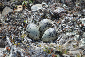 A Black-bellied Plover nest at Woolley Lagoon, Alaska.