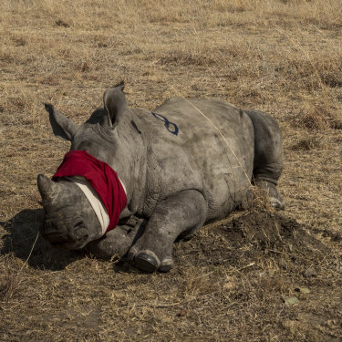 A blindfolded rhino calf prior to translocation.