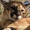 Suspected killer mountain lion killed in San Diego