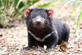 New research shows the spread of cancer in Tasmanian Devils is slowing.