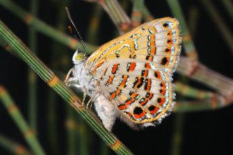 The bulloak jewel butterfly.
