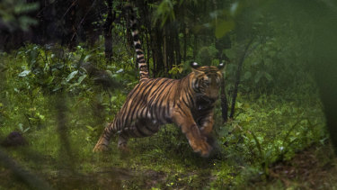 A 10-month-old cub in the Tadoba Andhari Tiger Reserve in the Indian state of Maharashtra, India.