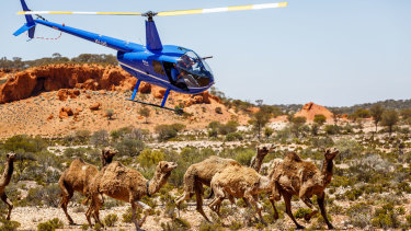 The helicopter bears down on the herd in Judas Collar.