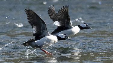 Bufflehead ducks reveal their white underparts.