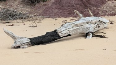 This piece of partially burnt driftwood bears an uncanny resemblance to a shark.