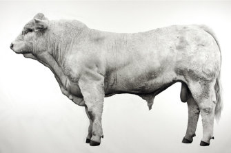 This majestic 179cm-tall brahman bull is part of the exhibition.
