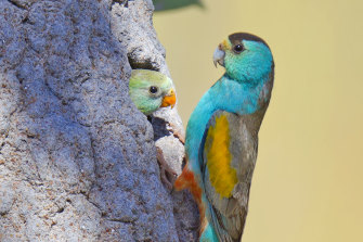 The highly endangered golden shouldered parrot would have been further threatened by the clearing of 1840 hectares on Cape York's Kingvale Station.