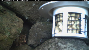 A mountain pygmy possum captured by the DigiVol cameras.
