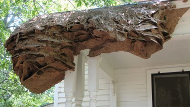 A super wasp nest on James Barron's smokehouse in southern Alabama.