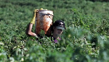 The working holiday maker program accounts for about 80 per cent of the harvest labour workforce.