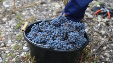 Grape expectations: Climate change is posing big questions for producers such as those at Chateau Larose Trintaudon.