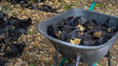 At one camp alone, volunteers found 11,000 flying foxes dead.
