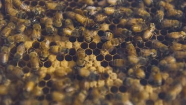 Bees at Queensland art gallery helping develop pilotless planes
