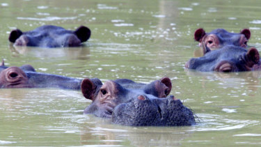 A herd of hippopotamuses swim in a muddy lake at the abandoned country home of former drug kingpin Pablo Escobar.