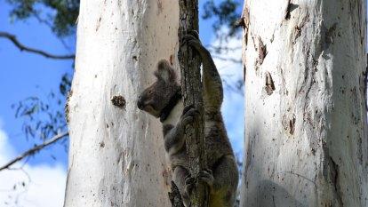 Drastic improvement to habitat mapping brings hope for koalas