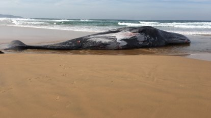 16-metre sperm whale washes up on Phillip Island, prompts shark warning
