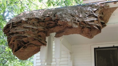 'Really dangerous' wasps forming more super nests as weather warms up