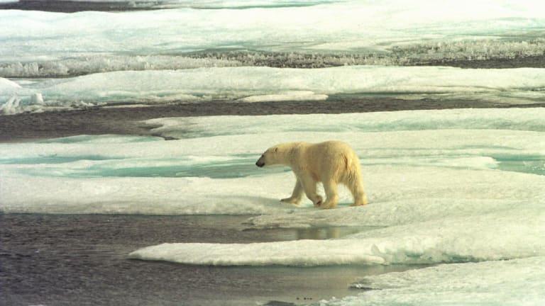 A polar bear on the Arctic sea ice off Alaska.