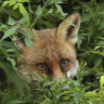 Prominent British lawyer sparks outrage after clubbing fox to death while dressed in a kimono
